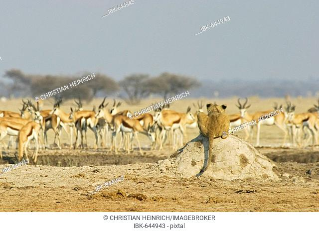 Lioness (Panthera leo) on a termites hill watches to a herd of springboks (Antidorcas marsupialis), Nxai Pan, Makgadikgadi Pans National Park, Botswana, Africa