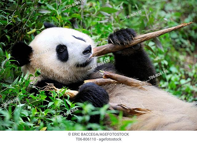 Giant panda (Ailuropoda melanoleuca) feeding on bamboo at Bifengxia Giant Panda Breeding and Conservation Center, Yaan, Sichuan, China
