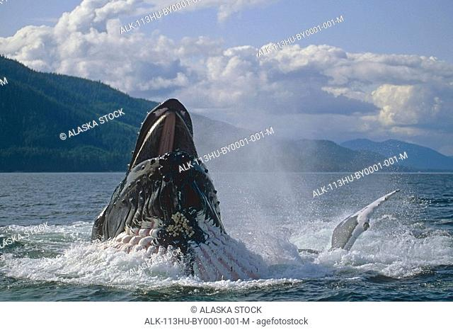 Humpback whale bubble net feeding Inside Passage Southeast Alaska