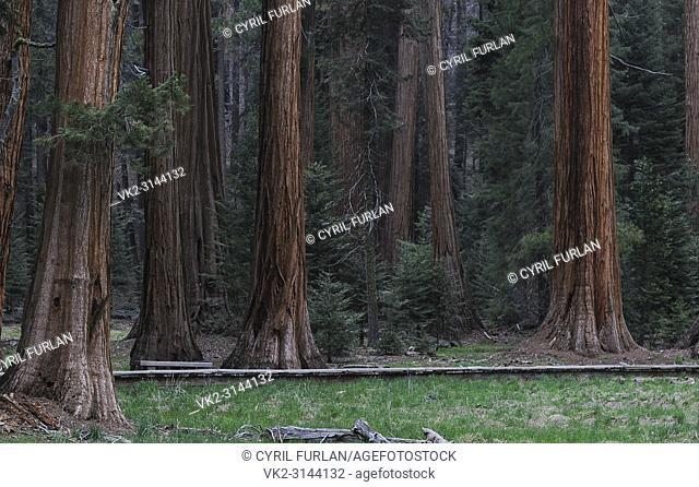 Sequoia Grove Sequoia National Forest, California