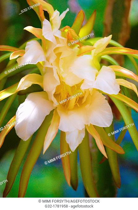Mistakenly known as Night-Blooming Cereus, is not of Cereus family, but Epiphyllum oxypetalum