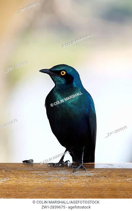 Cape Glossy Starling (Lamprotornis nitens), Kruger National Park, Transvaal, South Africa