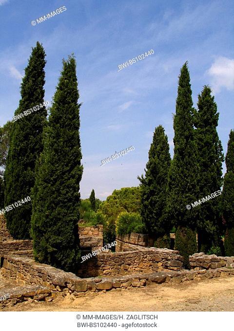 Italian cypress (Cupressus sempervirens), archaeological excavations in Ullastret, Spain, Costa Brava