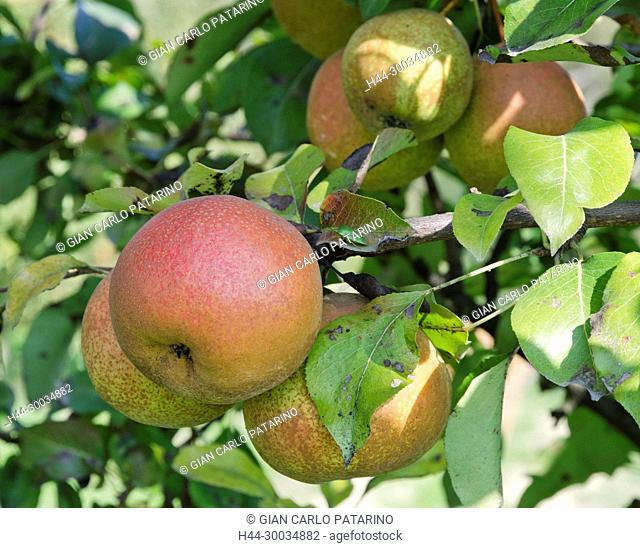 Italy, fruits of Piedmont Langhe-Roero and Monferrato on the World Heritage List UNESCO. Fruits of pears