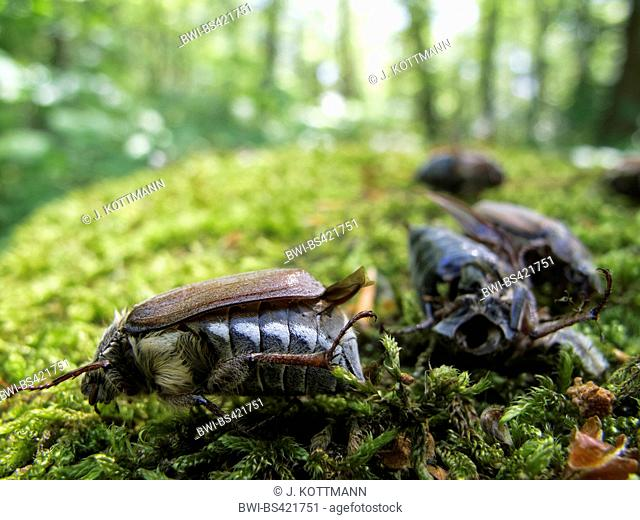 Common cockchafer, Maybug, Maybeetle (Melolontha melolontha), dead maybbeetles on moss after application of pioson, Germany