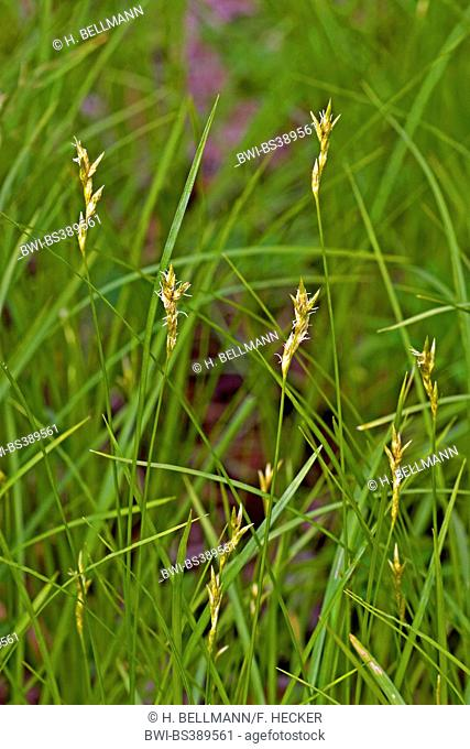 Quaking-grass Sedge, Quaking grass sedge, Alpine grass (Carex brizoides), blooming, Germany