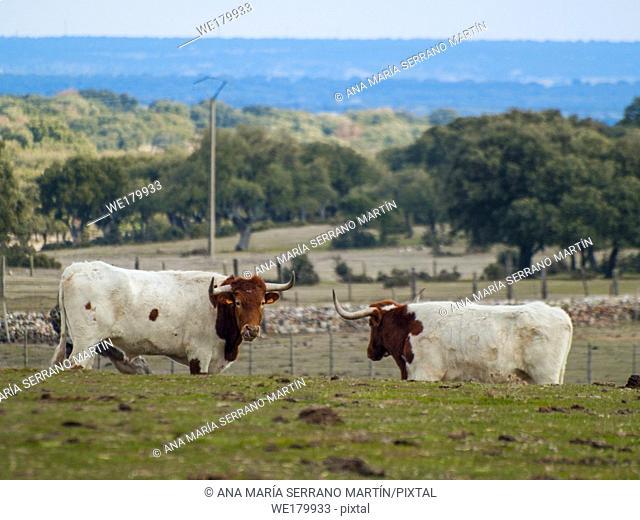A herd of berrenda en colorado breed cows grazing in the dehesa in Salamanca (Spain). Ecological extensive livestock concept