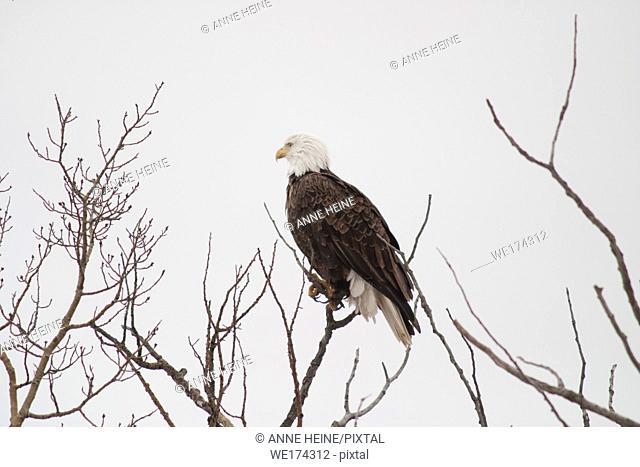 Bald eagle sitting on bare branches, Alberta, Canada