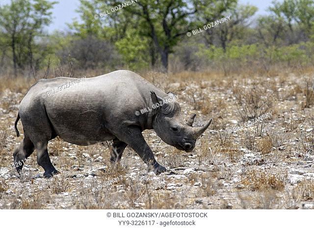 Black Rhino (Diceros bicornis) - Etosha National Park, Namibia, Africa
