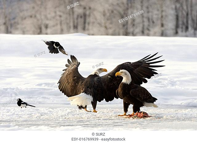 Two Bald Egles (HALIAEETUS LEUCOCEPHALUS) eat a salmon on snow