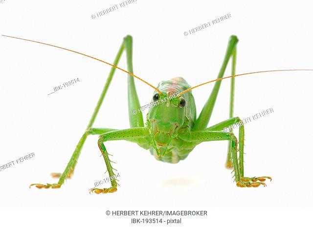 Bush-cricket (Tettigonia viridissima)