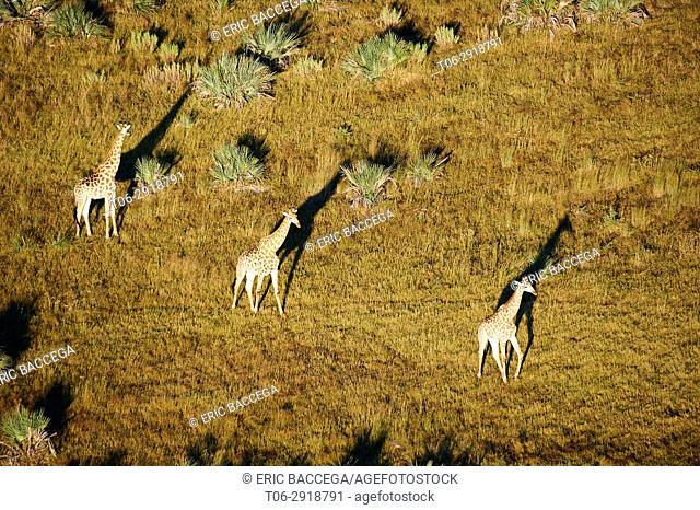Aerial view of Giraffe group running (Giraffa camelopardalis angolensis) with shadow at sunrise, Okavango delta, Botswana, Africa