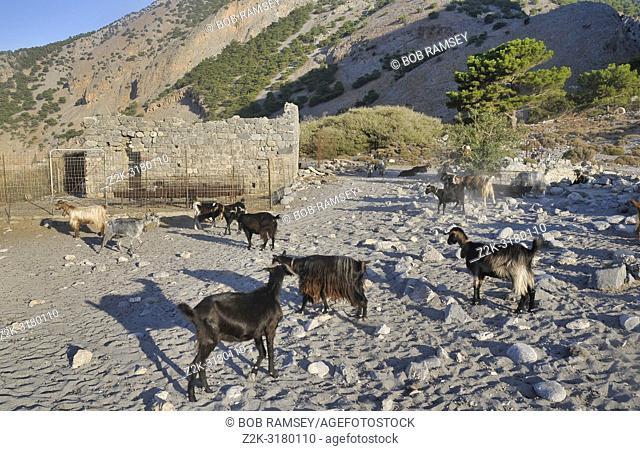Cricris or wild goats, Crete, Greece