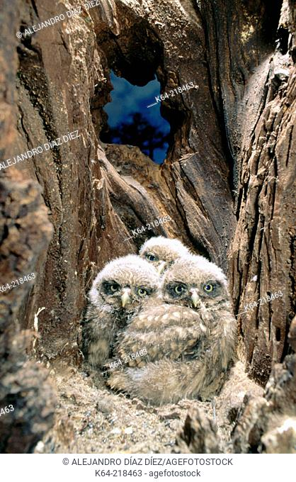 Little Owls (Athene noctua) in nest