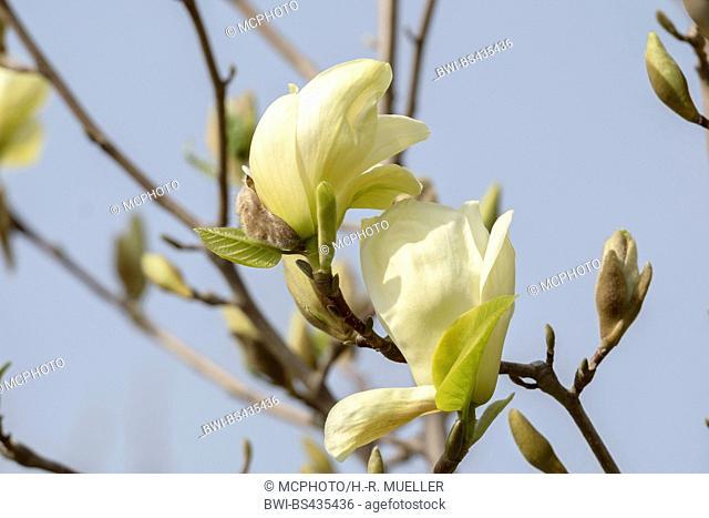 Lily Tree, Yulan (Magnolia denudata 'Yellow River', Magnolia denudata Yellow River), cultivar Yellow River