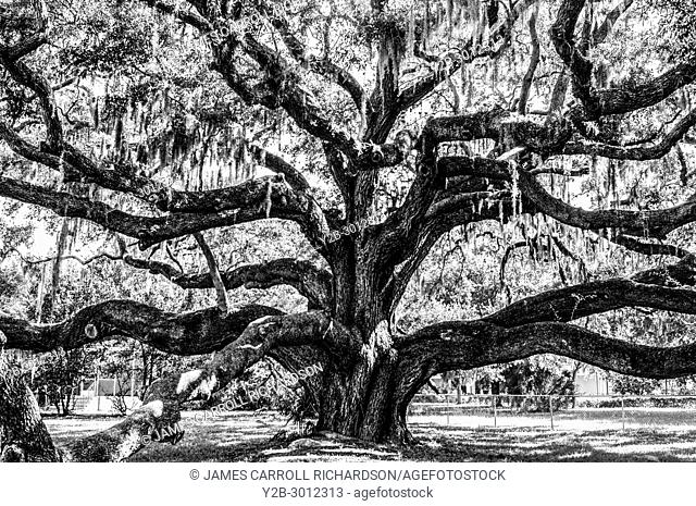 Live oak tree in Safety Harbor. Florida. USA
