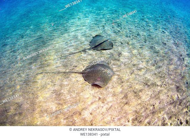 reticulate whipray (Himantura uarnak) swims over a sandy bottom, Red sea, Marsa Alam, Abu Dabab, Egypt