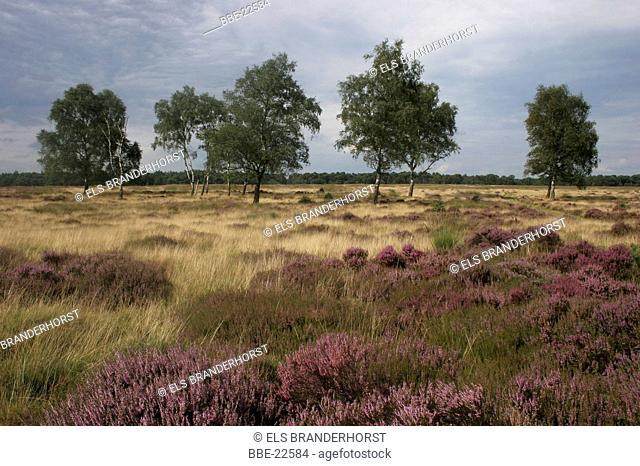 Heathland with Birch trees