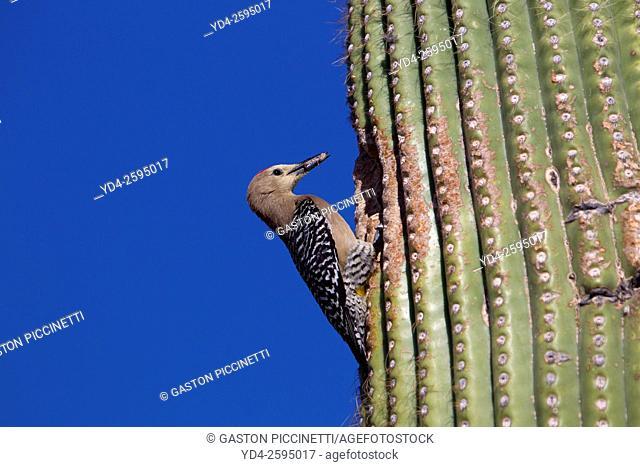 Gila Woodpecker (Melanerpes uropygialis) - Male at nest in Saguaro cactus (Carnegiea gigantea), Saguaro National Park, Sonora Desert, Arizona, Tucson, USA