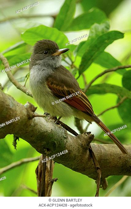 Rufous-tailed Flycatcher (Myiarchus validus) perched on a branch in Jamaica in the Caribbean