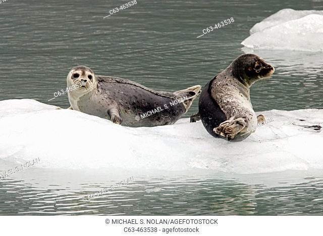 Mother and pup Harbor Seals (Phoca vitulina) on ice near Johns Hopkins Glacier in Glacier Bay National Park, Southeast Alaska, USA