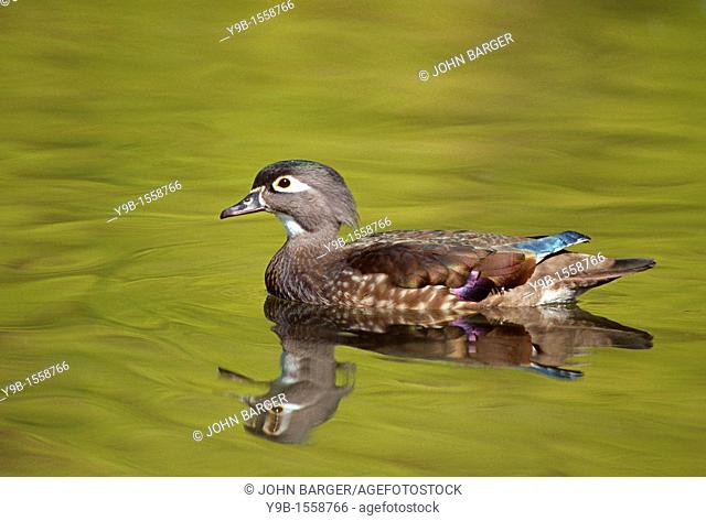 WOOD DUCK Aix sponsa, female swimming on small pond in autumn, western Oregon, USA