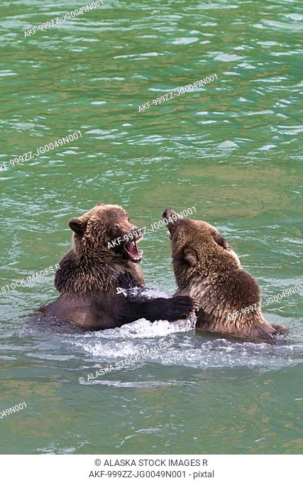 Two sub-adult Brown Bears play fighting in the Chilkoot River near Haines, Southeast Alaska, Autumn