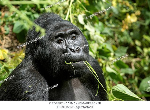 Mountain Gorilla (Gorilla beringei beringei), male feeding, Bwindi Impenetrable National Park, Uganda