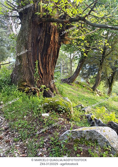 Centenary Sweet Chestnut tree (Castanea sativa) at Viladrau village countryside. Montseny Natural Park. Barcelona province, Catalonia, Spain