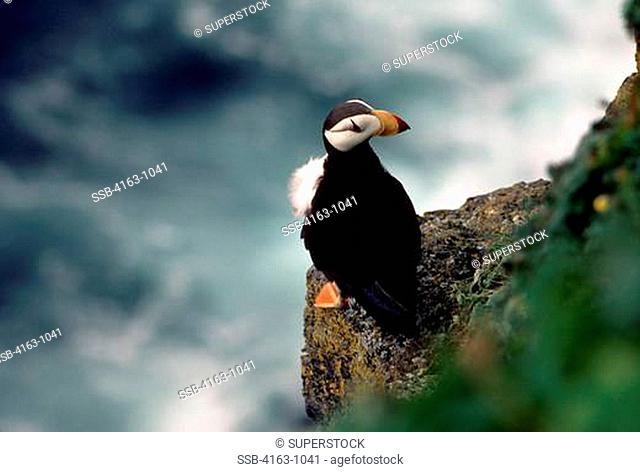 USA, ALASKA, PRIBILOF ISL. ST. PAUL'S ISLAND, HORNED PUFFIN SITTING ON CLIFFSIDE LEDGE