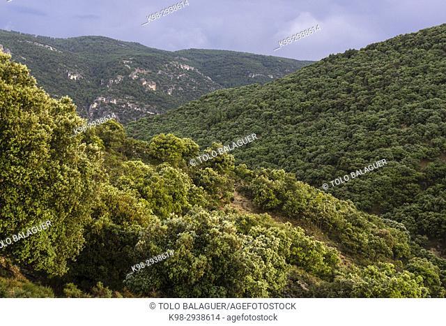 encinar en la cuenca del rio Zumeta, sierra de las Huebras,Parque Natural de las Sierras de Cazorla, Segura y Las Villas, provincia de Jaén