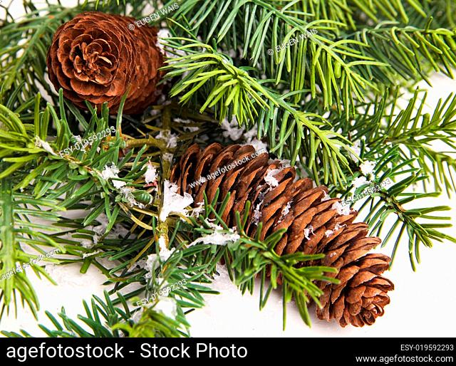 pine cone with branch. Cones in pine tree branch isolated on the white backgroun