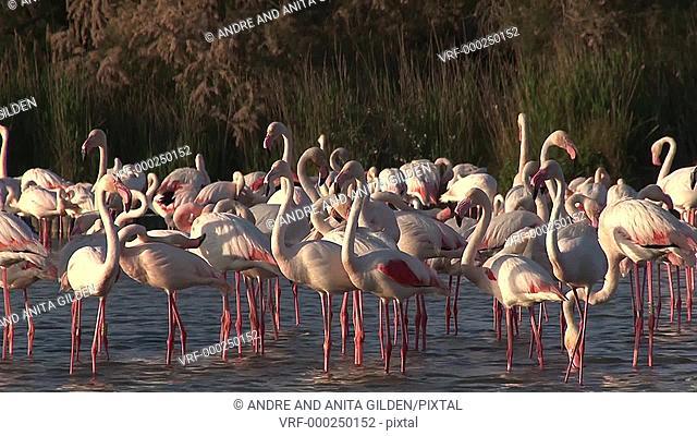 Greater Flamingo ( Phoenicopterus roseus) foraging in pond