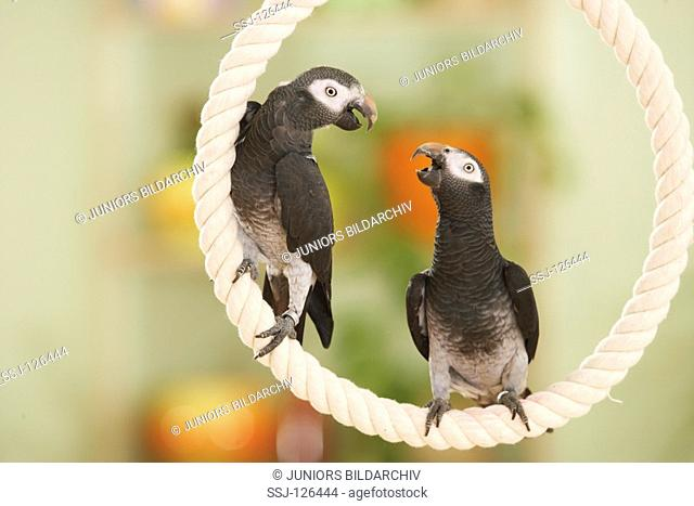 Timneh African Grey parrots on rope - Psittacus erithacus timneh