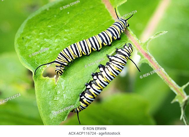 Monarch (Danaus plexippus) caterpillars on Common Milkweed (Asclepias syriaca), Barrie Island, Ontario, Canada - the Monarch is a species of Special Concern in...