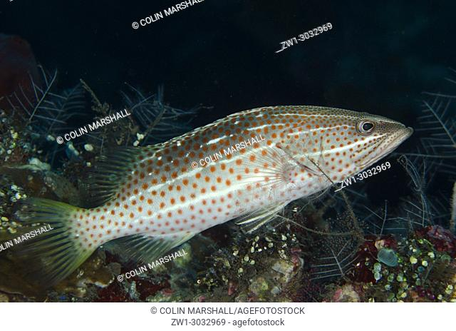 Slender Grouper (Anyperodon leucogrammicus), Liberty Wreck dive site, Tulamben, Bali, Indonesia