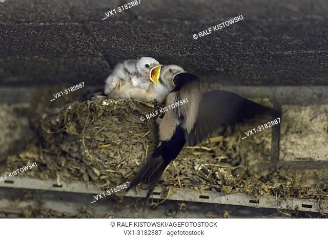 Barn Swallow ( Hirundo rustica ), adult feeding its chicks in nest, two of them with white plumage, leucistic, leucism, wildilfe, Europe