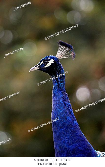 France, Burgundy, Yonne. Around Saint Fargeau. Close up of a peacock