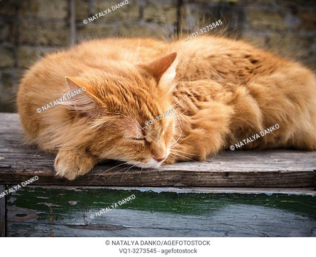adult red fluffy cat sleeps curled up in the street, close up