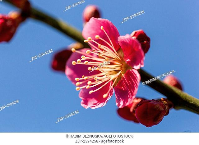 Prunus Mume Benishidori in bloom