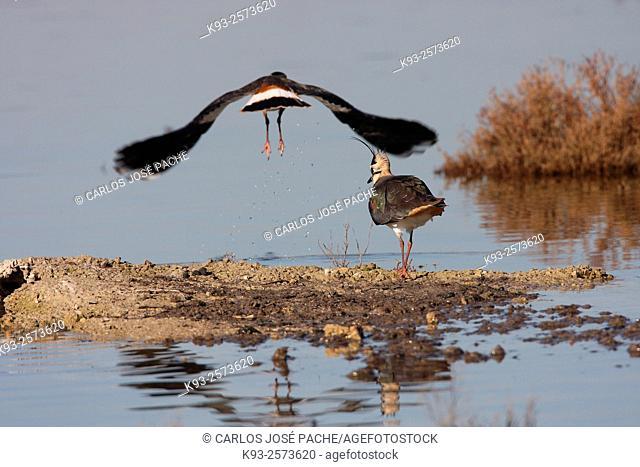 Northern lapwing (Vanellus vanellus). S'Albufera de Mallorca, Mallorca, Balearic Islands, Spain