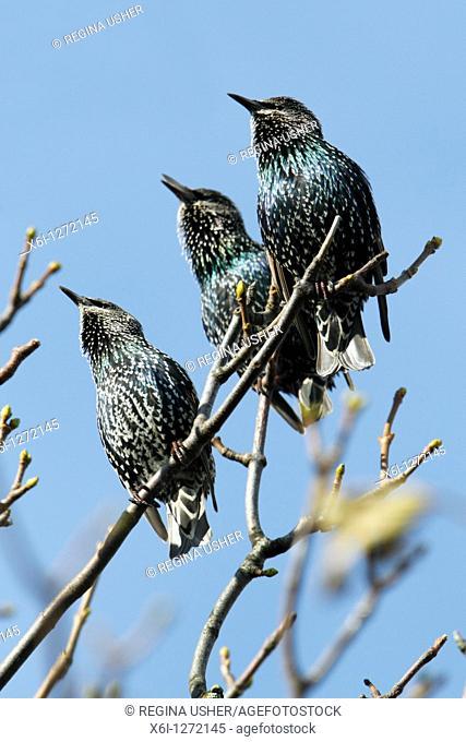 Starling Sternus vulgaris, three sitting on branch, singing, Northumberland, England