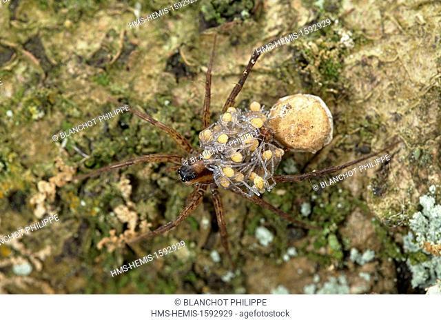 France, Araneae, Lycosidae, Lycose ou Araignée-loup (Pardosa lugubris), femelle portant ses jeunes araignées sur le dos, peu après leur sortie du cocon