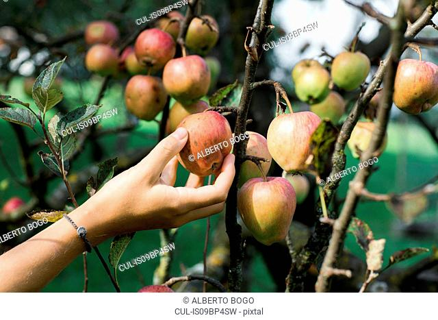 Woman picking apples from tree