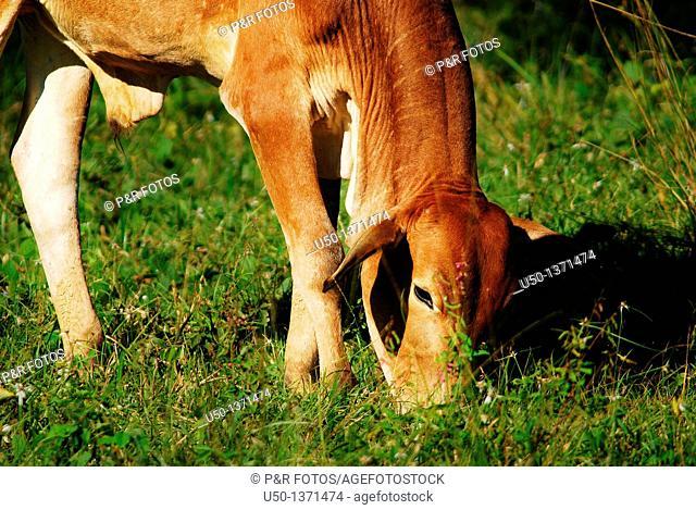 Ox grazing, Rio Branco, Acre, Brazil, 2010