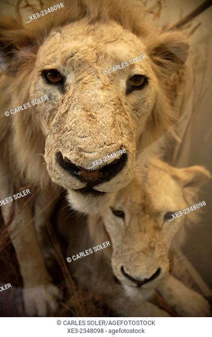 Stuffed lions on display. Museo de Ciencias Naturales, Madrid, Spain