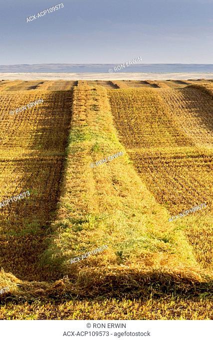 Freshly cut crops in Southern Saskatchewan, Canada