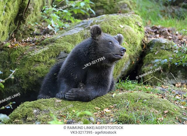 Brown bear, Ursus arctos, cub, Germany