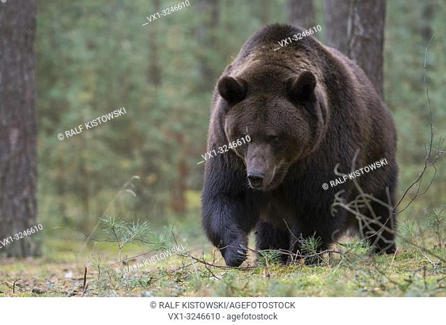 Brown Bear / Braunbaer ( Ursus arctos ) walking through the undergrwoth of a forest, looks angry, dangerous, huge paws, frontal side shot, Europe