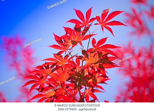 The bright color of the red maple leaves flung against the blue sky